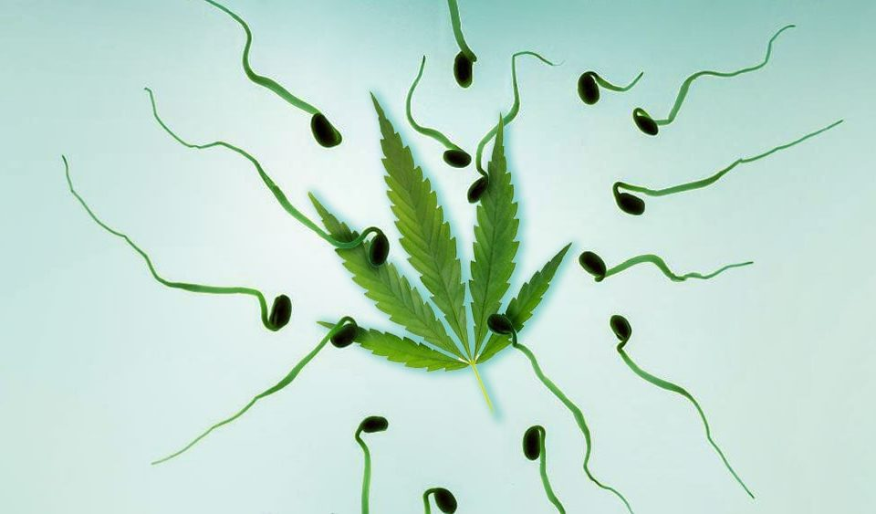 sperm cannabis and marijuanaed